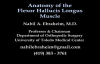 Anatomy Of The Flexor Hallucis Longus Muscle  Everything You Need To Know  Dr. Nabil Ebraheim