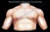Brachialis Muscle Anatomy  Everything You Need To Know  Dr. Nabil Ebraheim