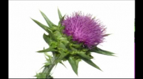 Blessed Thistle Health Benefits