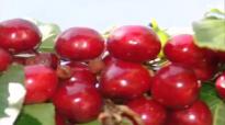 Cherries health benefits. Healthy life