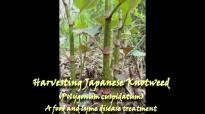 Japanese Knotweed  A Food, Medicine, Teacher, and Herbal Healer