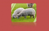 Sheep Placenta Malaysia Best Health Product!