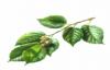 Slippery Elm Herb Health Benefits