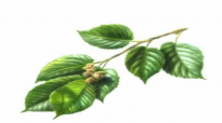Slippery Elm Herb Health Benefits